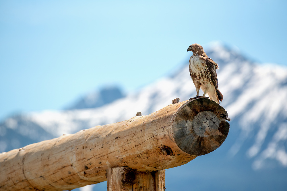 Red-tailed hawk (Buteo jamaicensis), Zumwalt Prairie, Oregon.