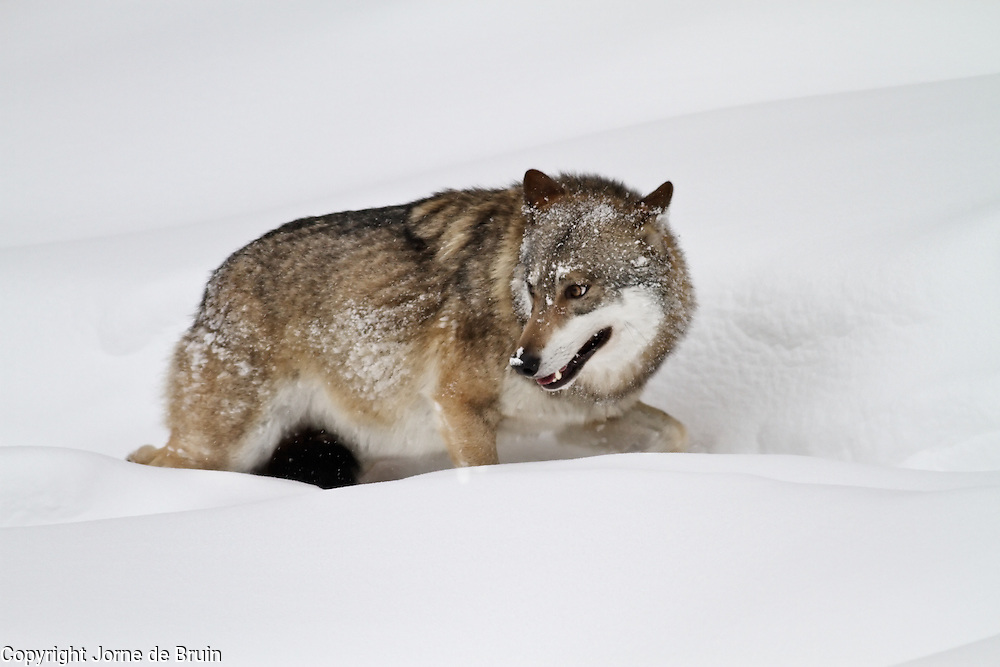 A wolf is running from his pack through the snow in the wildlifepark of the Bavarian Forest.