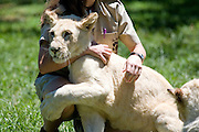 South Africa, White lion cubs and their care-taker at Johannesburg lion park.