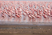 A flock of pink Flamingos in lake naivasha, Kenya,