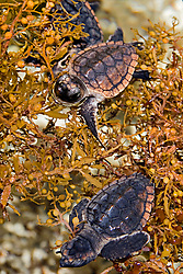 loggerhead turtle hatchlings, Caretta caretta, taking refuge among sargassum weed, Sargassum natans, Juno Beach, Florida, Atlantic Ocean (c)