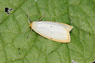 Four Dotted Footman - Cybosia mesomella