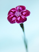 Dianthus 'Jane Austen' - pink