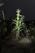 Corn plant / Planta de maíz en Francia Nueva, Chicontepec, Veracruz.