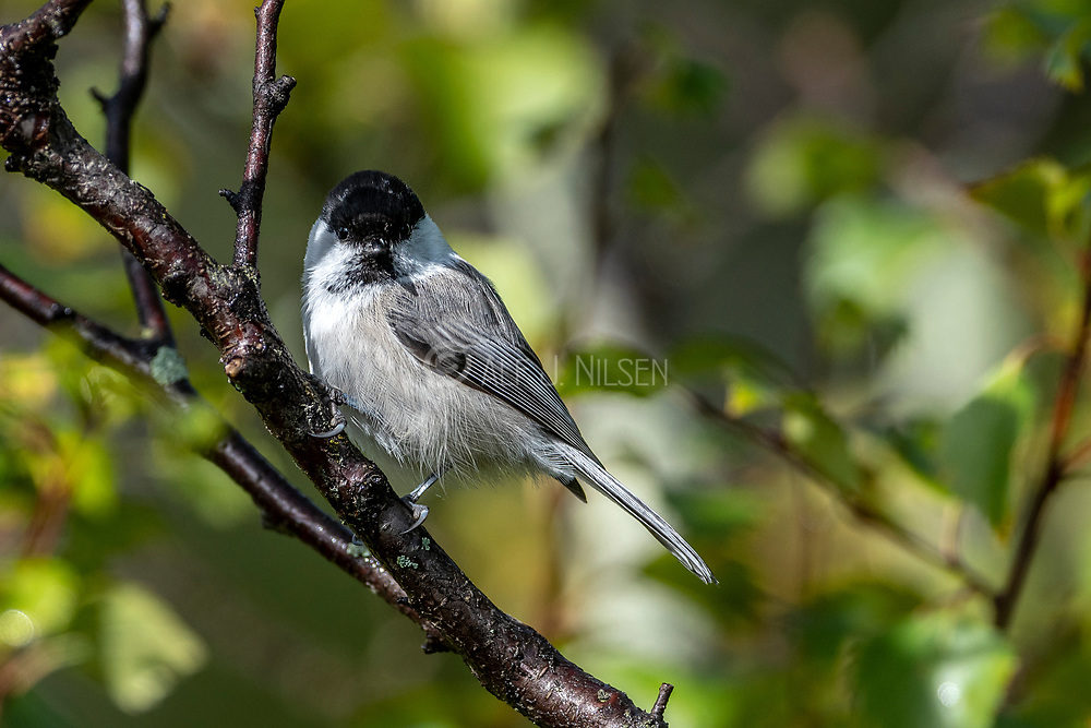 Willow tit (Poecile montanus) from Dalen, Telemark, southern Norway in September.