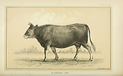 Algerian Cow from Cattle and dairy farming. Published 1887 by Govt. Print. Off. in Washington. United States. Bureau of Foreign Commerce (1854-1903)