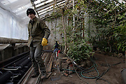 St Petersburg, Russia, 10/02/2004..Founded in 1714 by Peter the Great, the Komarov Institute is one of the largest botanical collections in the world. Repair work in the greenhouses.
