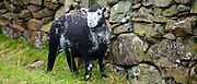Traditional Herdwick sheep by drystone wall at Langdale in the Lake District National Park, Cumbria, UK