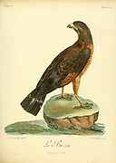 Buse buson or rufous crab hawk (Buteogallus aequinoctialis) or rufous crab-hawk, is a species of bird of prey in the family Accipitridae Bird of Prey from the Book Histoire naturelle des oiseaux d'Afrique [Natural History of birds of Africa] by Le Vaillant, François, 1753-1824; Publish in Paris by Chez J.J. Fuchs, libraire .1799
