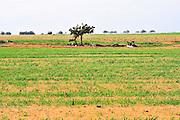 Israel, Negev Desert, Wheat Field