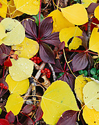 Forest floor in autumn with aspen leaves and bunchberries, Rock Glacier Trail, Kluane National Park, Yukon Territory, Canada.