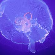 Aurelia aurita, Moon Jellyfish with blue background.  The most common jellyfish species found in the genus Aurelia.