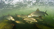 Lake Whitefish, Underwater