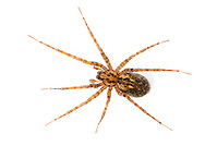 """Tegenaria silvestris - Female. Found with it's sheet web on forest floor and under stones. It is a small delicate version of the large """"House Spider"""""""