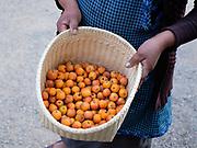 Manzanita fruit gathered from the garden in the Zapotec village of Teotitlan del Valle, Oaxaca, Mexico on 26 November 2018