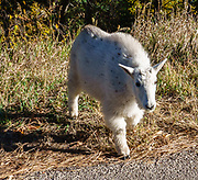 """A juvenile mountain goat crosses the road in Spearfish Canyon, South Dakota, USA. The mountain goat (Oreamnos americanus, or Rocky Mountain Goat) is a large-hoofed mammal found only in North America. It is an even-toed ungulate in the family Bovidae, in subfamily Caprinae (goat-antelopes), in the Oreamnos genus, but is NOT a true """"goat."""""""