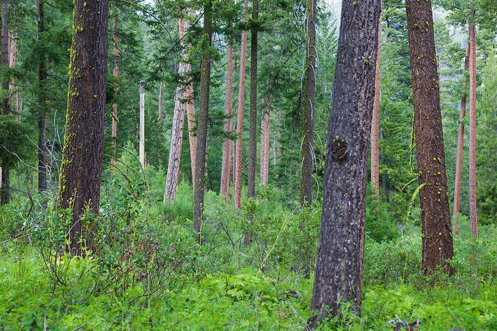 An open stand of ponderosa pine (Pinus ponderosa) and coast Douglas-fir (Pseudotsuga menziesii) in Okanogan National Forest, Washington.