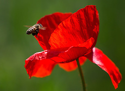 THEMENBILD - Der Klatschmohn (Papaver rhoeas), auch Mohnblume oder Klatschrose genannt, ist eine Pflanzenart aus der Familie der Mohngewächse. Hier im Bild eine Biene fliegt auf eine Klatschmohnblüte zu, Aufgenommen am 19.05.2013 in Jois // THEMES IMAGE - Papaver rhoeas (common names include corn poppy, corn rose, field poppy, Flanders poppy, red poppy, red weed, coquelicot, and, due to its odour, which is said to cause them, as headache and headwark) is a species of flowering plant in the poppy family. In This Image a bee flying to a poppy flower, pictured on 2013/05/19. EXPA Pictures © 2013, PhotoCredit: EXPA/ Johann Groder