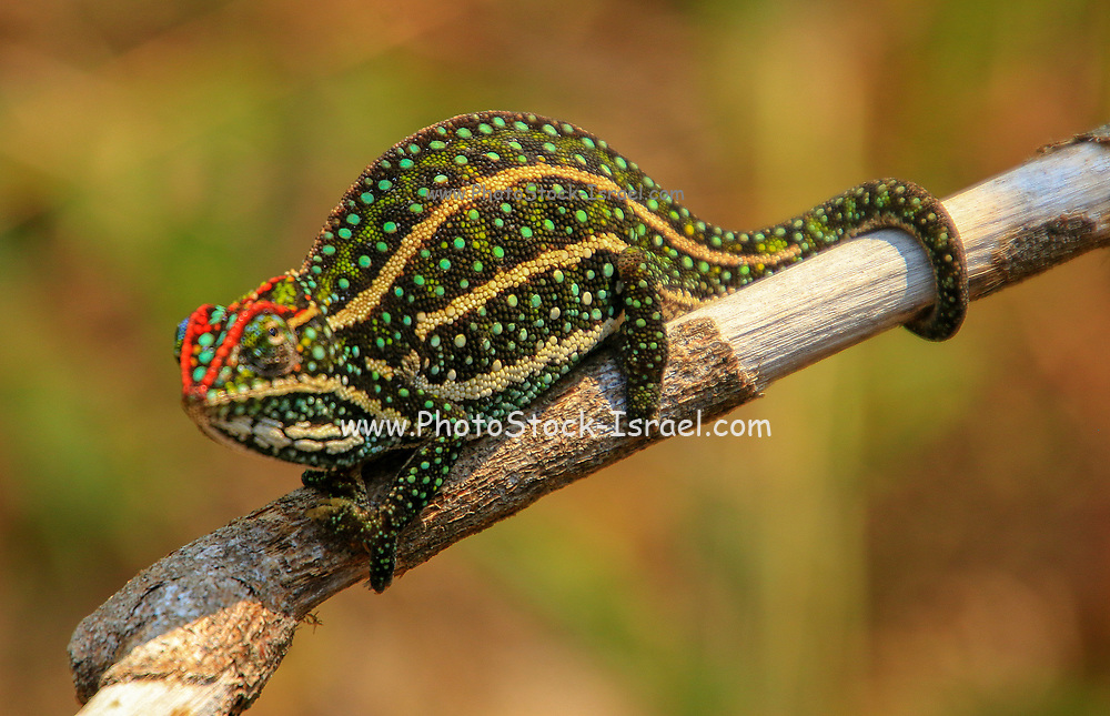 Panther chameleon (Furcifer pardalis) on a branch. Photographed in Madagascar,