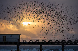 © Licensed to London News Pictures. 26/01/2014. Aberystwyth, UK Every evening,  a murmuration of starlings comes flying in at dusk to roost on the cast iron legs of the Victorian seaside pier at Aberystwyth on the west Wales coast. Photo credit : Keith Morris/LNP