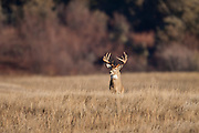 Whitetail deer (Odocoileus virginianus) trophy buck during autumn rut