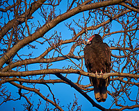 Turkey Vulture in a Neighbors Tree. Image taken with a Fuji X-T1 camera and 100-400 mm OIS telephoto zoom lens (ISO 200, 400 mm, f/5.6, 1/120 sec).
