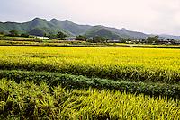 Rice fields, Hahoe Folk Village, near Andong, South Korea