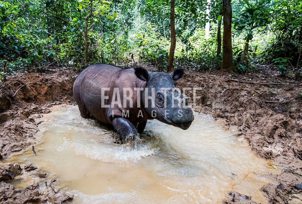 A critically endangered Sumatran rhino is pictured in a rehabilitation center in south Sumatra. Photo: Paul Hilton / Earth Tree Images