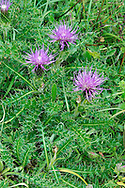 DWARF THISTLE Cirsium acaule (Asteraceae) Height to 5cm<br /> Creeping and flattened perennial with a characteristic rosette of extremely spiny leaves. Grows in short grassland on calcareous soils. FLOWERS are borne in heads, 3-5cm across, with reddish purple florets; heads are usually stalkless (Jun-Sep). FRUITS have feathery pappus hairs. LEAVES are pinnate with wavy, spiny lobes. STATUS-Locally common only in S and E England and S Wales; scarce or absent elsewhere.