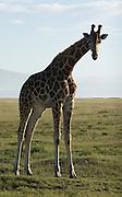 Giraffe, Lake Nakuru National Park, Kenya.