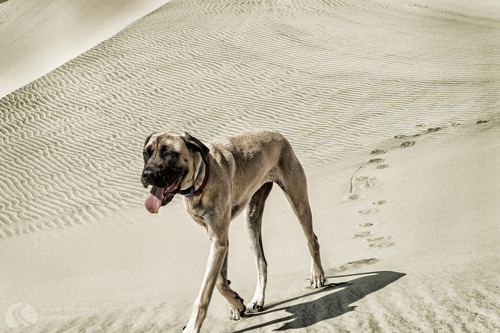Walks like a Camel. Smells like a Dog. This English Mastiff is still a pup, less than a year old.  Playfull and full of energy, Odie Denali has no idea just how big she'll become.
