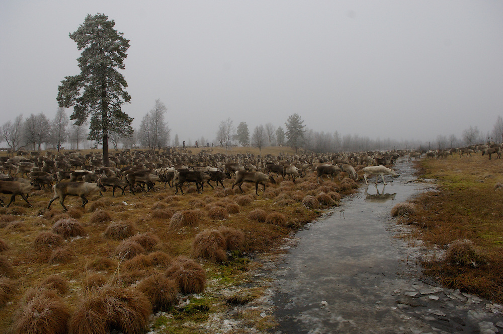 Hirvas Salmi, FINLAND.  October 16, 2007- Herds of reindeer cross a brook.   On the third day of this 10 day roundup event it is critical to tabulate exactly how many reindeer there are to corral.  Reindeer graze while herdsman assess numbers with binoculars.