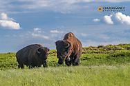Bison bulls in Theodore Roosevelt National Park, North Dakota, USA