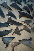 Shark fins commercial catch<br /> Quetzalito<br /> Guatemala<br /> Central America