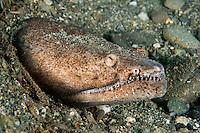 Reptilian Snake Eel<br /> <br /> shot in Indonesia