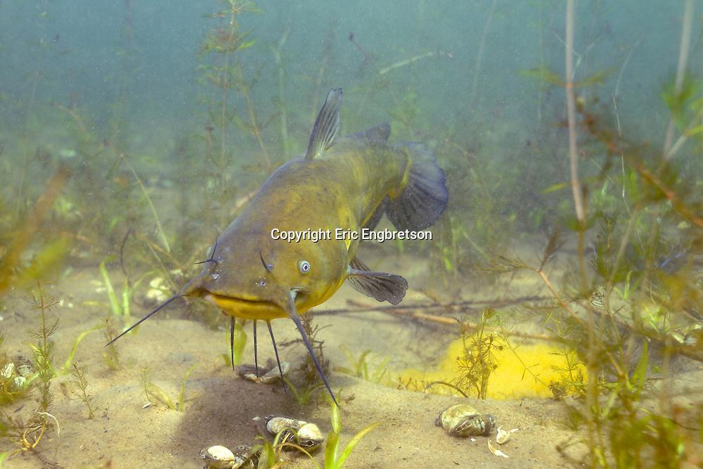 Black Bullhead (male guarding eggs-yellow mass in lower right hand corner)<br /> <br /> Engbretson Underwater Photography