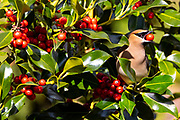 A cedar waxwing (Bombycilla cedrorum) swallows a berry from a Chinese holly (Ilex cornuta) shrub in Everett, Washington. Cedar waxwings eat berries year-round, though they supplement their diet with insects during breading season.