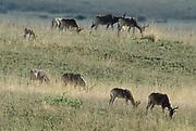 Swayne's Hartebeest, Alceluphus buselaphus swaynei, Senkele Wildlife Sanctuary, Ethiopia, Endemic, Endangered, herd, nine, 9