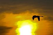 Mute Swan flies past sunset, Oxfordshire, United Kingdom. Wild birds may be at risk if Avian Flu (bird flu virus) spreads.