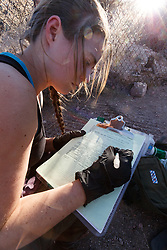 Researcher logging data on female Mexican wolf after medical procedure at wolf management facility, Ladder Ranch, west of Truth or Consequences, New Mexico, USA.