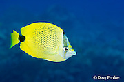milletseed butterflyfish or lauwiliwili, Chaetodon miliaris, Hawaiian endemic species, Pawai Bay, near Kaiwi Point, Kona, Hawaii, USA ( Central Pacific Ocean )