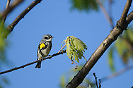Yellow-Rumped Warbler in an oak tree in upstate NY.