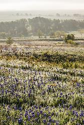 Field of bluebonnet wildflowers outside Ennis (south of Dallas), Texas, USA
