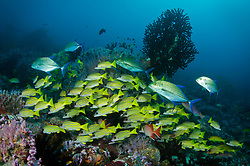 A squadron of Bluefin Trevally, Caranx melamygus, patrols above a school of Bluestripe Snapper, Lutjanus kasmira. Fish Rock, Andaman Islands, India, Andaman Sea