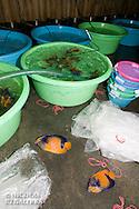 Pomacanthus navarchus mort a la suite du voyage entre les iles banggais et Manado<br /> <br /> Poisson Ange Amiral, Pomacanthus navarchus, Manadoo, Sulawesi, Indonésie- Mission Banggai Cardinal Fish, Mai 2008, Act for Nature - Musee oceanographique de Monaco