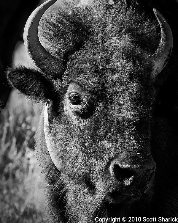 A picture of a bison in the National Bison Range Wildlife Refuge in Montana. Missoula Photographer, Missoula Photographers, Montana Pictures, Montana Photos, Photos of Montana