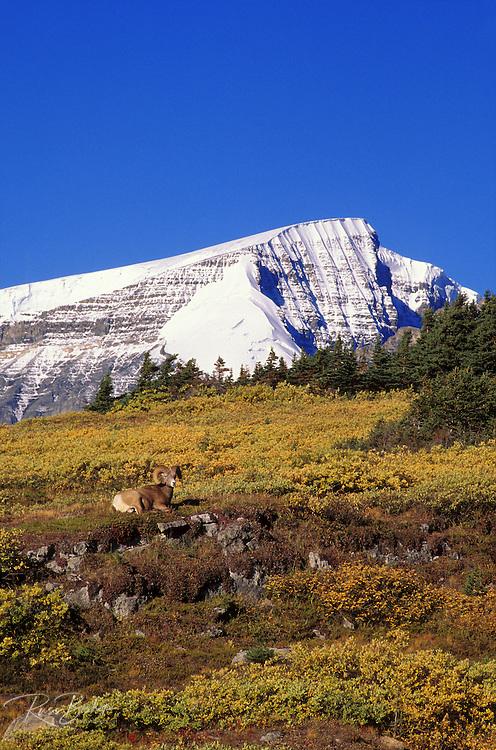 Bighorn ram on Wilcox Ridge under Mount Snowdome, Columbia Icefields, Jasper National Park, Alberta, Canada