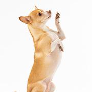 20200325 Chihuahua
