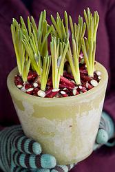 Muscari - Grape hyacinths - planted in wax pot with decorative use of chopped cornus (dogwood)  stems as dressing