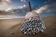 One of 3 winning entries in the 29th SUN (Shot up North) Awards for full time professional photographers<br /> <br /> Winner - Honourable Mention in 10th (2017) International Colour Awards (Wildlife category)<br /> <br /> A colony of Goose Barnacles has grown attached to a disconnected buoy, now washed up on Llanddwyn Beach, West Anglesey.